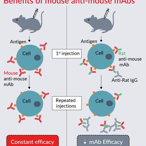 mAbs anti-ratón